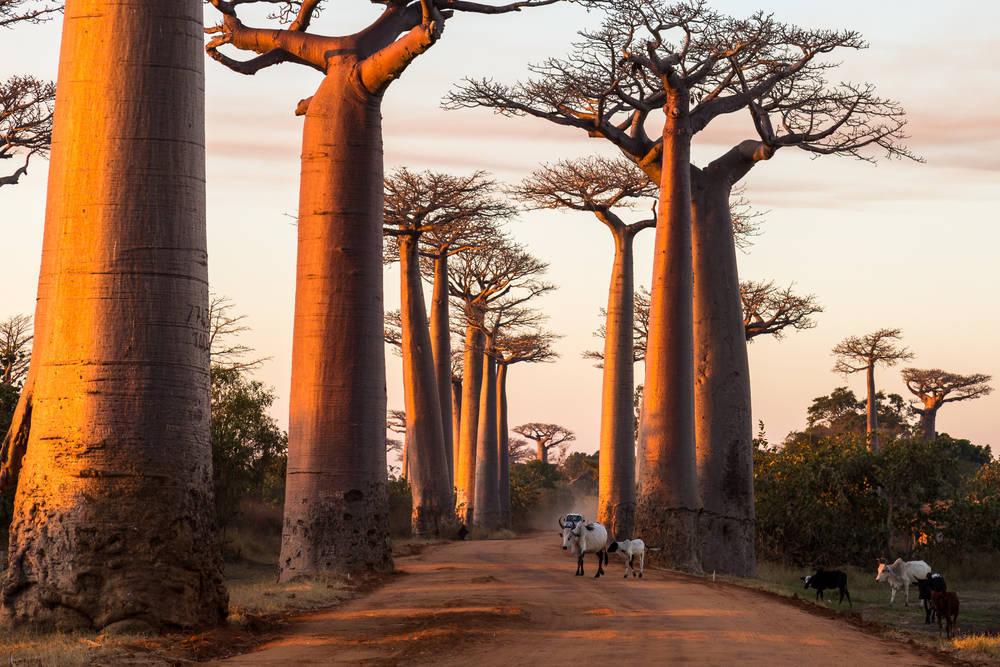Las Propiedades y Beneficios del Baobab para nuestra Salud