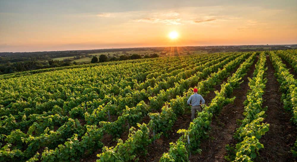 La compra de plantas de viña y vid se acentúa para potenciar la producción de vino